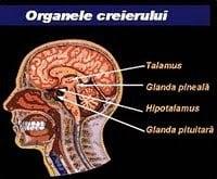 Glandele Creierului